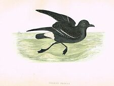"Morris's Sea Birds - Hand Colored Lithograph - ""STORMY PETREL"" - 1857"