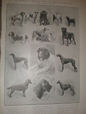 Printed photo Exhibition dogs Kennel Club Crystal Palace London 1905