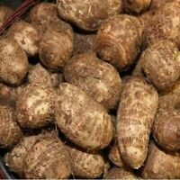 Premium Organic 15 Taro Root Bulbs Elephant Ear Edible Live Plant Eddo