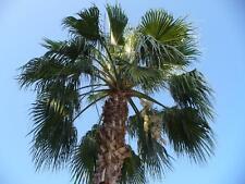 10 semillas Washingtonia robusta, mexicano washington palme