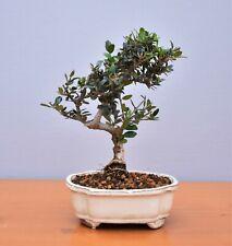 Bonsai Mediterran, Olive, Ölbaum, Wildolive (Olea europaea sylvestris) 2029