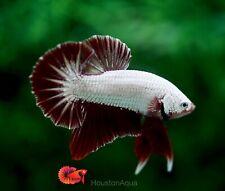 *Aggressive Red Dragon* Live Male Fancy HMPK Betta Fish High Quality Grade A+++