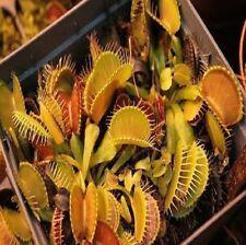 5x Dionaea Muscipula AMARILLO NARANJA venusfliegenfalle SEMILLAS JARDÍN NOVEDAD