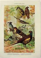 Game Birds - Original 1902 Dated Stone Chromo-lithograph by Julius Bien. Antique