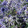 Sea Holly- Eryngium- Blue- 100 Seeds- BOGO 50% off SALE