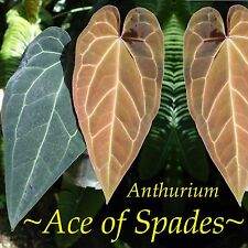 ~ACE of SPADES~ Anthurium Regale SPECTACULAR medium size Live small pot'd Plant