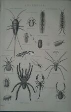 1878 print ~ Arachnida araignées scorpion thysanoura Acari parasitica