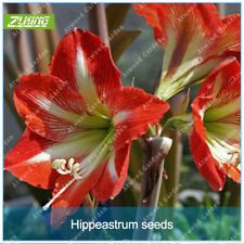 1pcs Hippeastrum bulb Bonsai Amaryllis Home Garden Lily Bonsai Perennials Flower