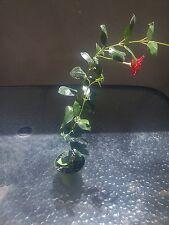 """Mandevilla Dipladenia """"Red Riding Hood"""" ~ ganzjähriger Flowering Vine Geschenk Urlaub"""
