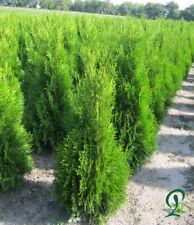 Thuja Smaragd 100-120 cm Höhe inkl. Versand, 22 x Heckenpflanzen 300,- Euro.