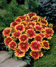 Gaillardia 'Arizona Sun' - 20 Seeds - Blanket Flower Perennial