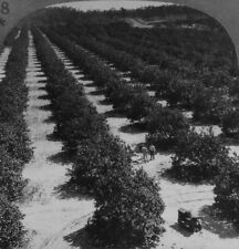 Keystone Stereoview of an Orange Grove in Florida From 1930's Scenic America Set