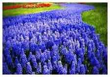 "EARLY ORDER 75X ""MUSCARI ARMENIACUM""EASY TO GROW SPRING FLOWERING BULBS SIZE 7/8"