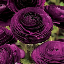 Zi Yuren Dark Purple Ranunculus Asiaticus 20 Seeds Perennial Flower Local Farmer