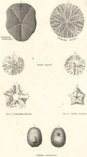 ECHINODERMATA.Echinanthus Subdepressus;Arachnoides Placenta;Rotula Angusti 1860