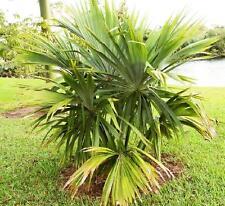 10 Samen Sabal mauritiiformis, Bay Palmetto Palme, cabbage palm