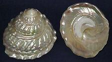 "(2) Pearled Wavy Top Turban Seashell~Astraea Turbanicum Shell~ 3"" -  3-1/4"""