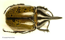 Dynastes hyllus moroni - male, very beautiful, +60mm