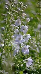 """Weisser Rittersporn (Delphinium x """"Galahad"""")"""