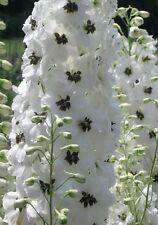 Delphinium Seeds Pennant White With Dark Bee 100 FLOWER SEEDS Lark Spur