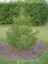 "Norway Spruce Tree Picea abies 12-18"" Lot Of 4"