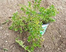 Thymian - Thymian Vulgaris Kräuterpflanzen, aus Bio Garten (247)