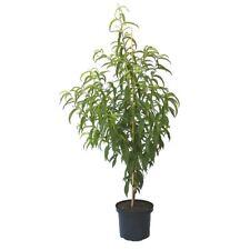Snow Queen Nektarine saftig süß 120-150 cm kräftiger Buschbaum Nektarinenbaum