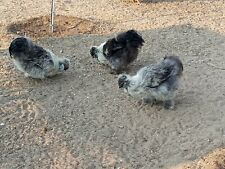 4 Quality Bearded Silkie Bantam Hatching Eggs Paint Blue Black