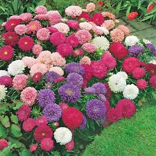 Aster- Crego Giant Mix, 150 seeds Flowers