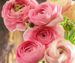 20 Ranunculus Asiaticus PINK Summer Flowering Bulbs Garden Perennial Buttercup