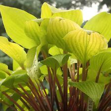 Rare Hosta Designer Genes Hosta Beautiful Live Flowering Plant