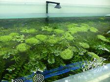 Plante flottante Riccia fluitans 7cm x 7cm