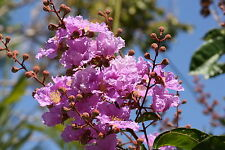 Pride of India - -LAGERSTROEMIA SPECIOSA - 12 Seeds Tree
