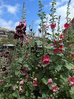 Rose Trémière rose x 20 graines