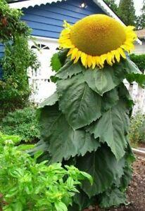 12  Mongolian Giant Sunflower Seeds - Up to 14 feet tall, 18 inch Sunflowers