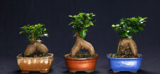 Ginseng Grafted Ficus Indoor Beginner Bonsai Tree Tropical Import GMF7012