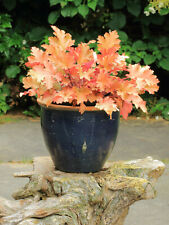 Seeds Heuchera Marmalade Coral Bells Perennial Hybrid Autumn Glow Color Leave +