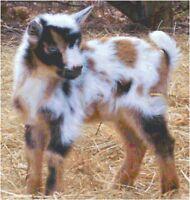 Cross Stitch Chart Nigerian Dwarf Goat