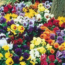 PANSY Viola Swiss Giants Velvet Mix Seeds (F 159)