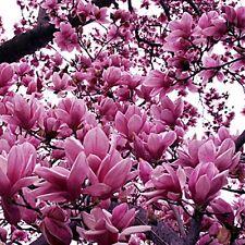 Magnolia Liliiflora Shrub 10 Seeds, Mulan Tulip Lily Magnolia,  Ships From USA