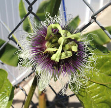Purple Passion Fruit Plant - Passiflora Edulis 'Frederick' - Edible