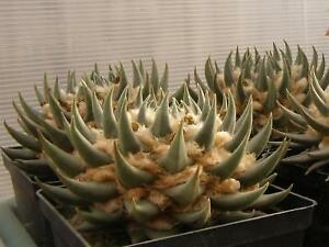 Ariocarpus trigonus v elongatus 100 cactus seeds