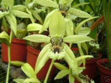 Coelogyne Pandurata bare root divisions. (orchid specie)
