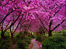 Judas Love Tree Seeds Purple Pink Flower Feature Garden Plant Bonsai Cercis Seed