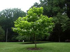 PIANTA ADULTA DI CATALPA  BIGNONIOIDES ( albero dei sigari ) alta 50-80 cm