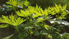 Süßdolde, Myrrhis odorata, Kerbel, süße  filigrane Blätter Samen grün essbar
