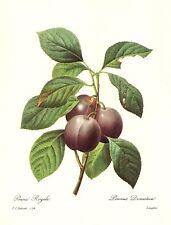 Vintage Botanical Fruit Print Purple Plum Print Kitchen Art Redoute Art pjr 2445