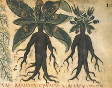 7 seeds - Mandragora autumnalis -  Autumn Mandrake - MEDICINAL PLANT - Magic