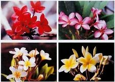 4 Hawaiian Plumeria Plant Cuttings & 5 Ginger Roots
