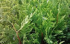 Arborvitae-Thuja  'Green Giant' ~Lot of 50~ 10-14 tall